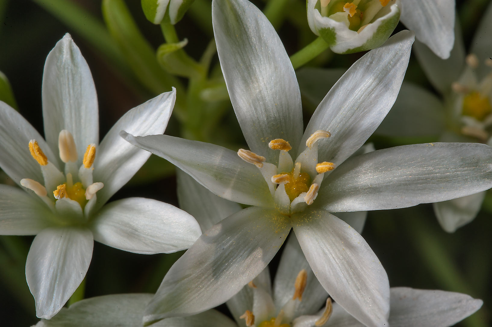 White flowers of grass lily (Ornithogalum...Institute. St.Petersburg, Russia