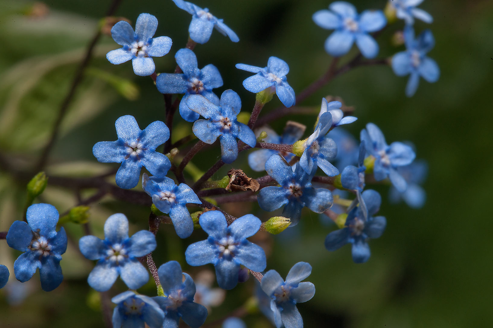 Some blue flowers in Botanic Gardens of Komarov Botanical Institute. St.Petersburg, Russia