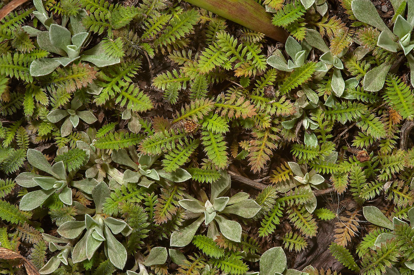 Carpet of fern like leaves in Botanic Gardens of...Institute. St.Petersburg, Russia