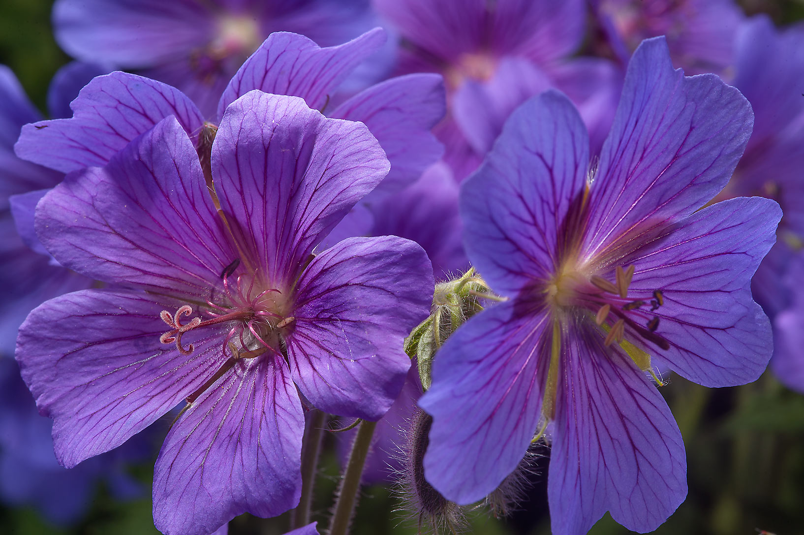 Blue flowers of geranium in Botanic Gardens of...Institute. St.Petersburg, Russia