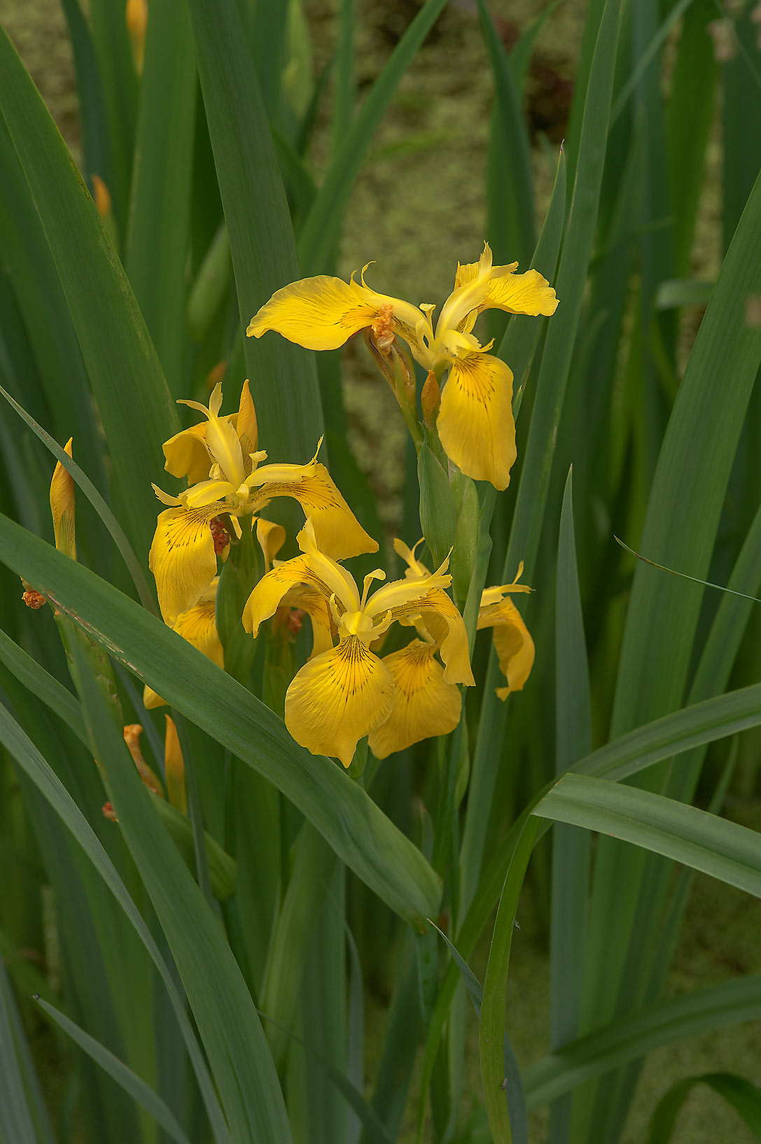 Water flag (yellow iris, Iris pseudacorus) in...Institute. St.Petersburg, Russia