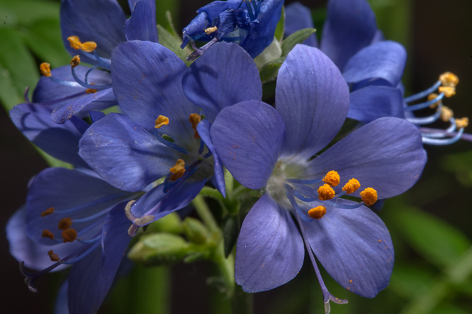Flowers of Jacob's Ladder (Polemonium caeruleum...Institute. St.Petersburg, Russia