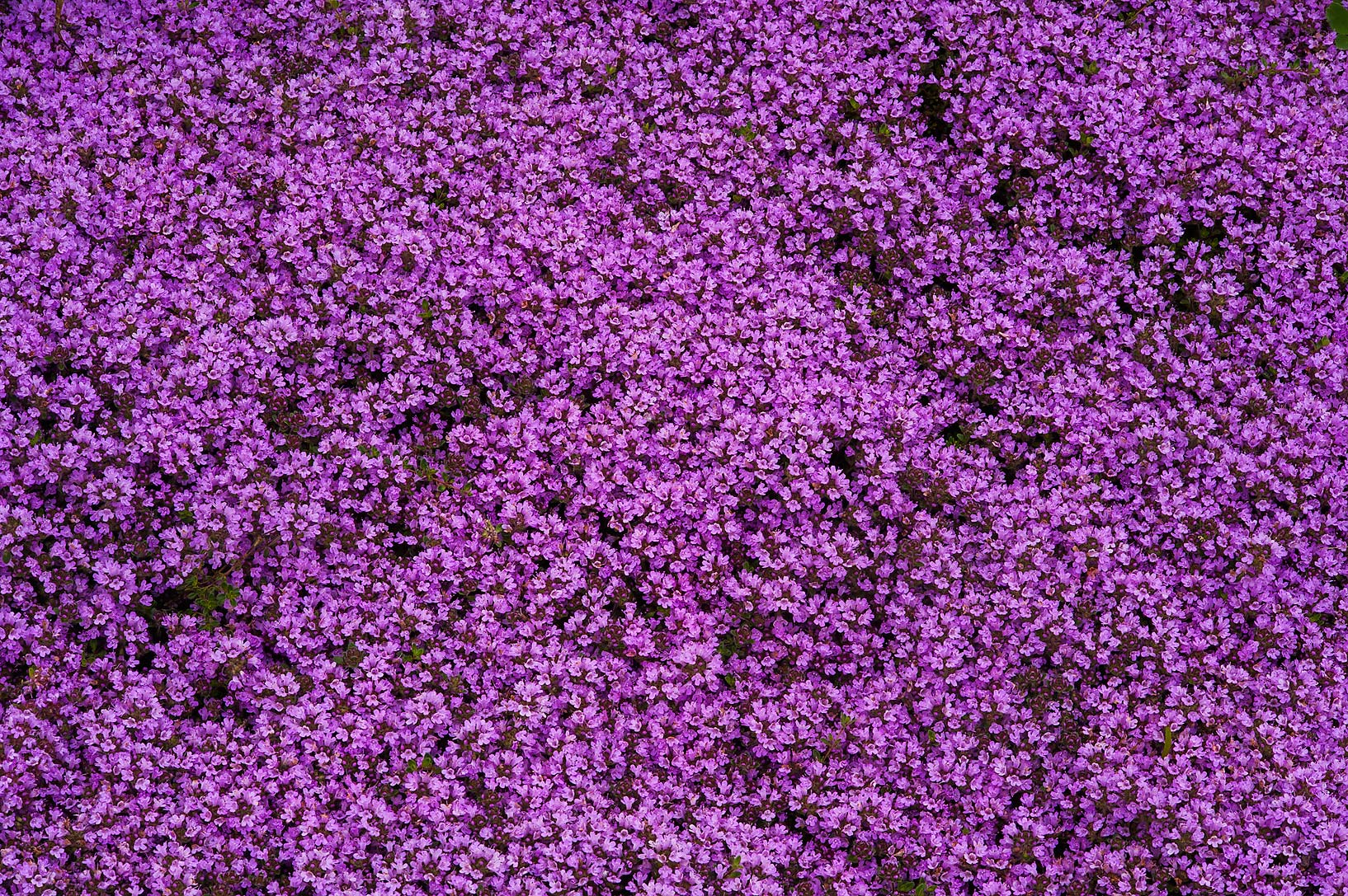Carpet of pink thyme flowers in Botanic Gardens...Institute. St.Petersburg, Russia