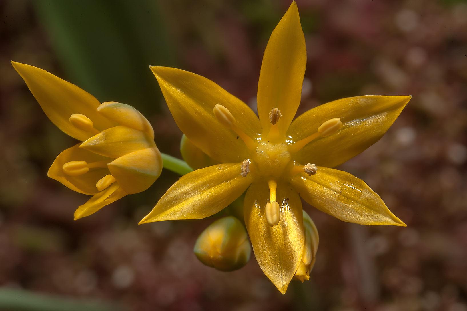 Photo 1429 06 yellow flower of lily family in botanic gardens x large image izmirmasajfo