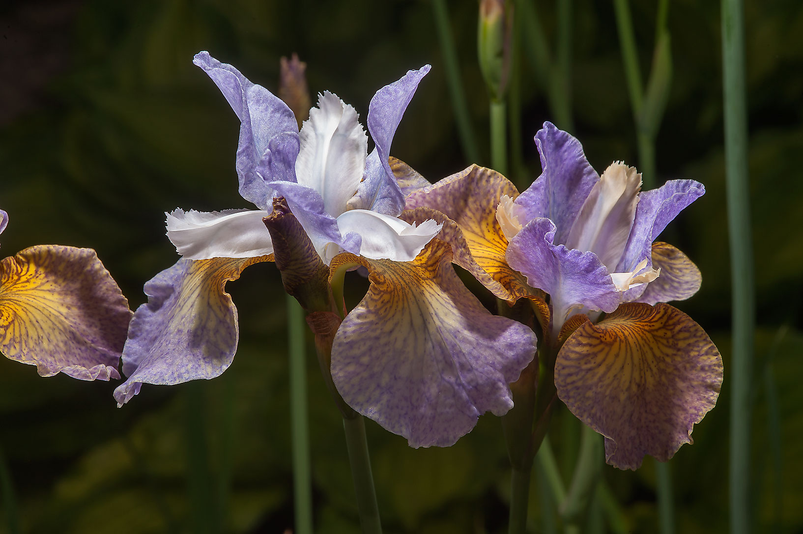 Multicolored flowers of iris in Botanic Gardens...Institute. St.Petersburg, Russia