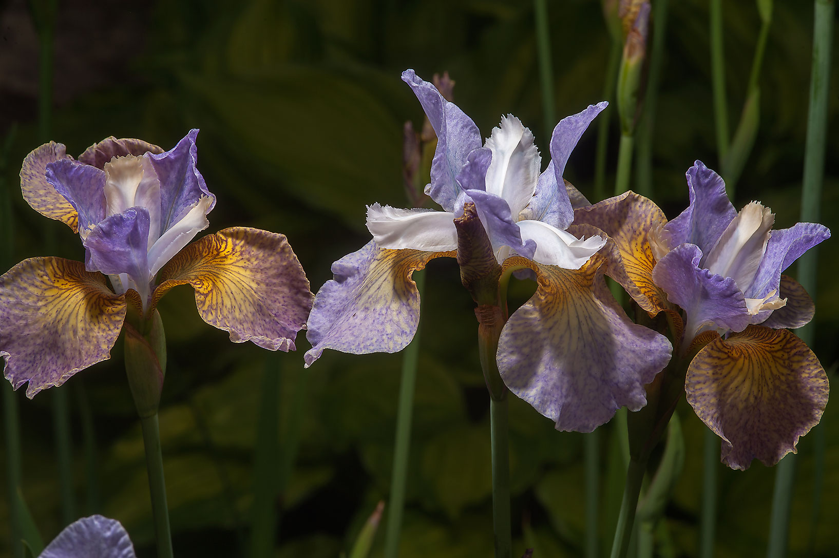 Three flowers of iris in Botanic Gardens of...Institute. St.Petersburg, Russia