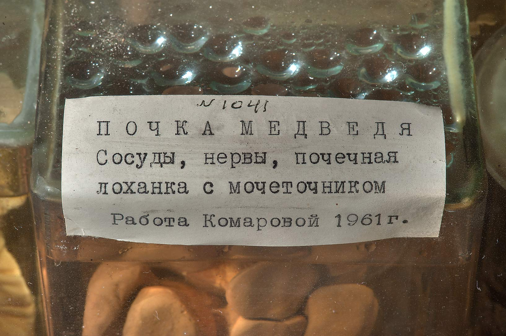 Pickled bear's kidney No. 1041 in Zoological Museum. St.Petersburg, Russia