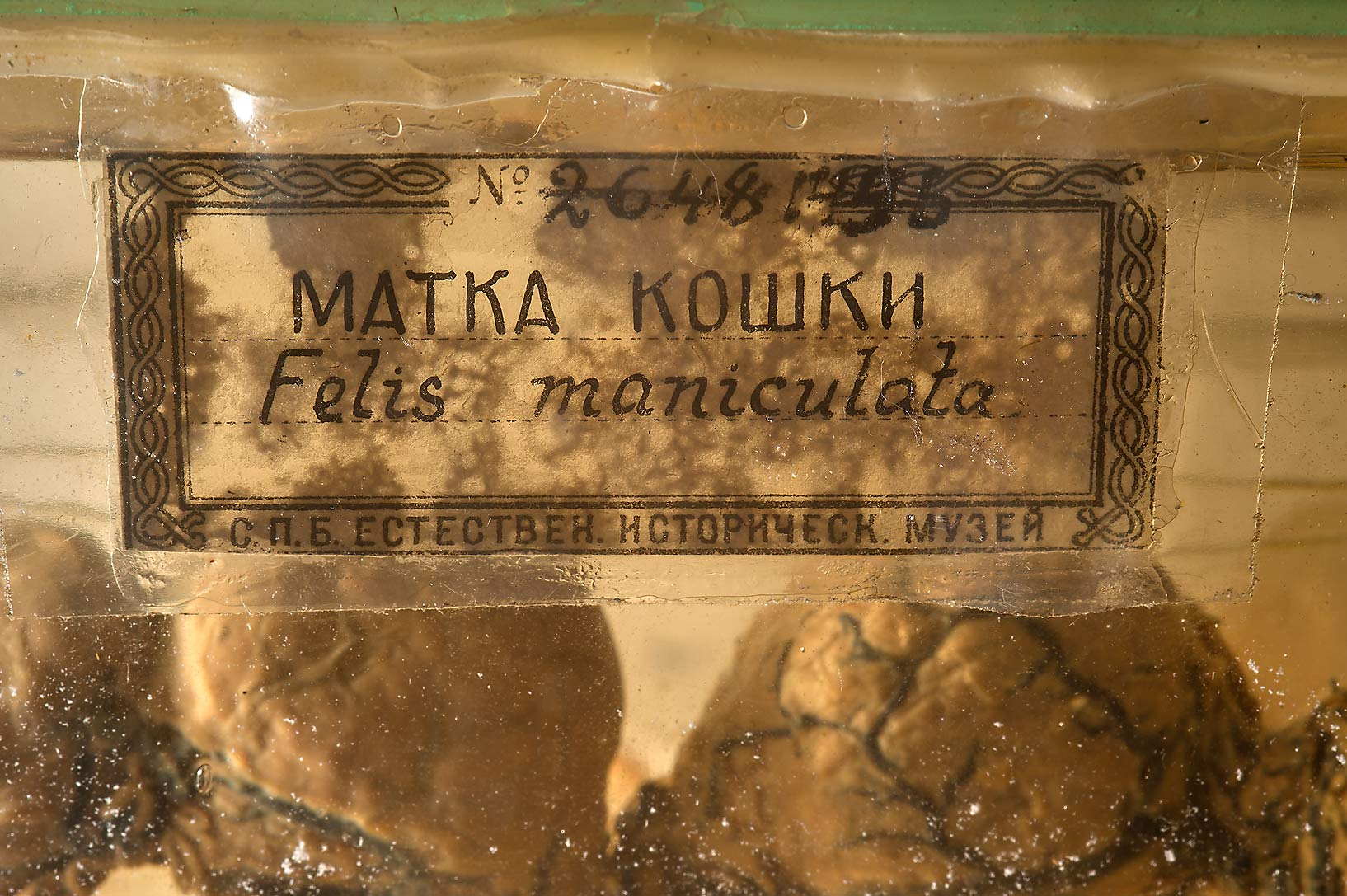 Pickled cat's fetus No. 2648 1456 in Zoological Museum. St.Petersburg, Russia