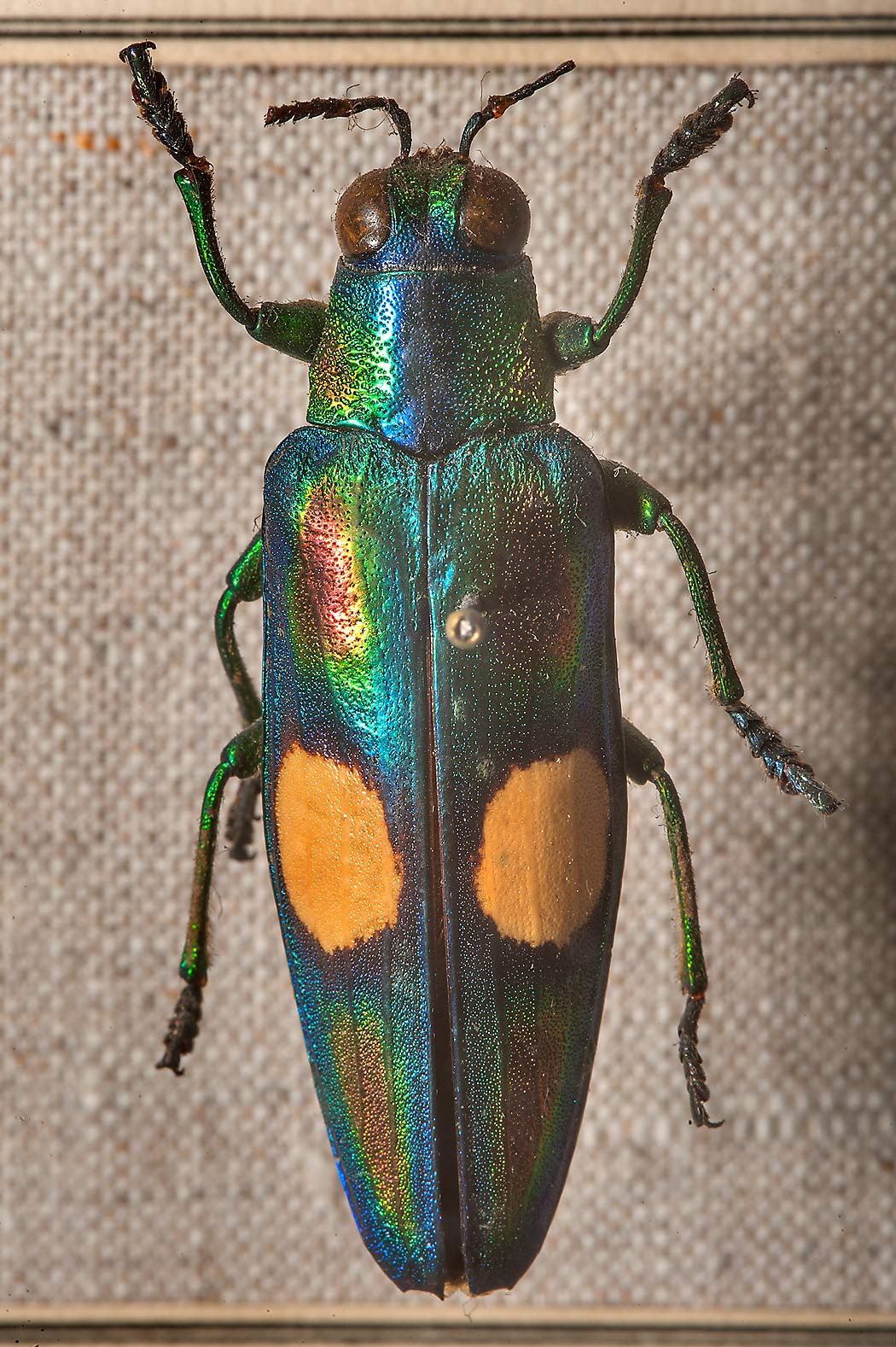 Mounted Jewel beetle Chrysochroa ocellata in Zoological Museum. St.Petersburg, Russia