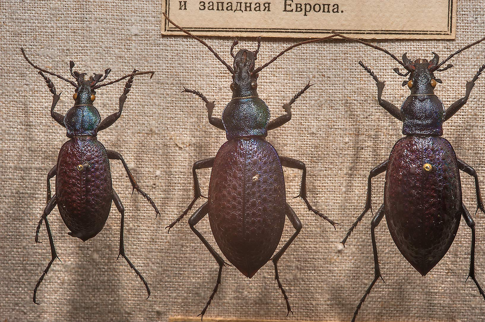 Large ground beetles in Zoological Museum. St.Petersburg, Russia