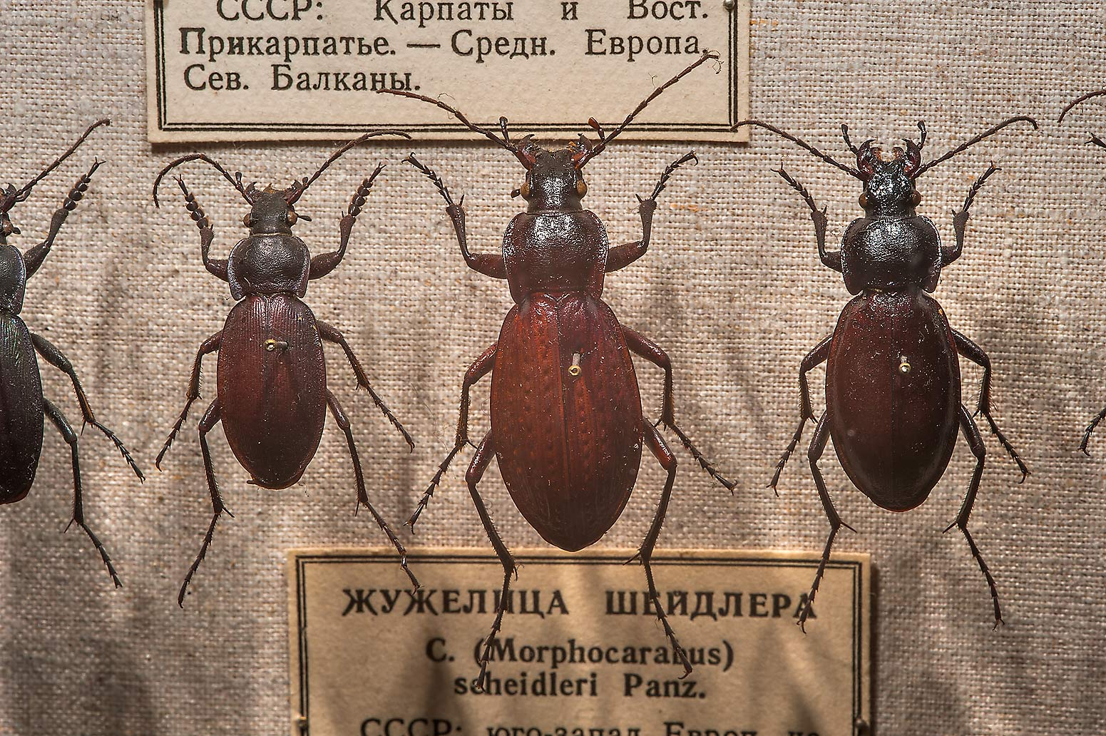 Ground beetles (Carabus Schedleri) in Zoological Museum. St.Petersburg, Russia