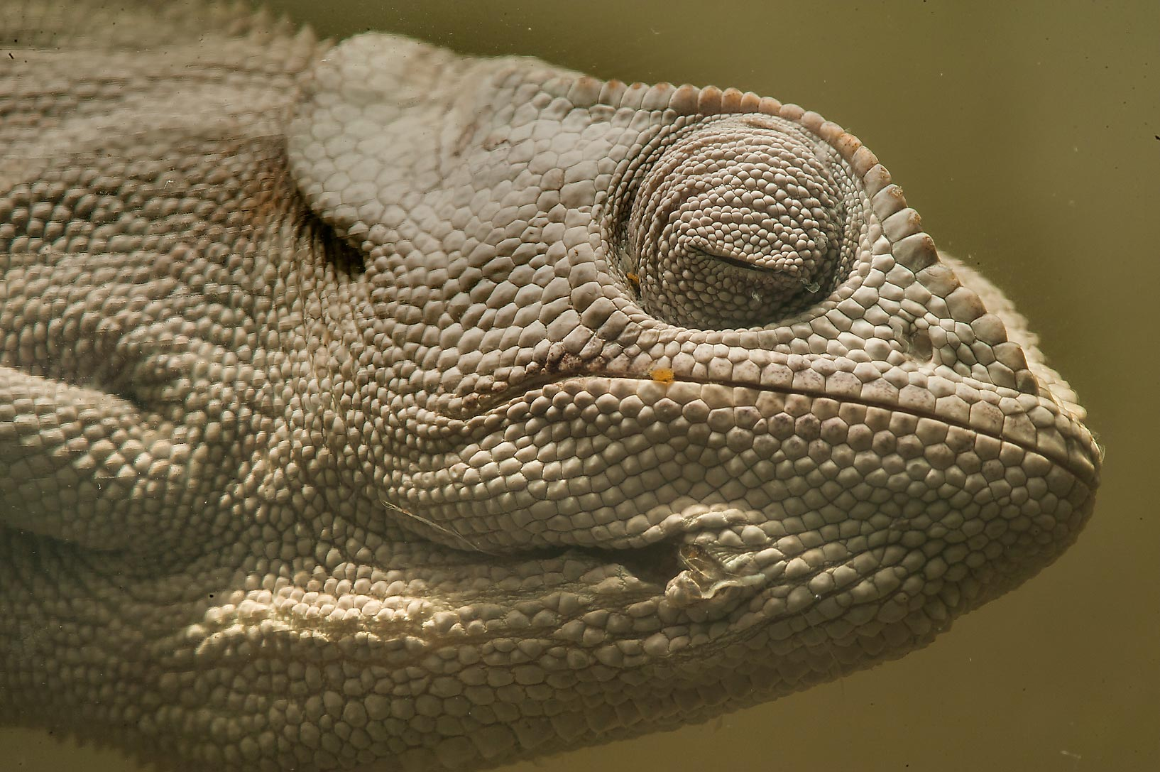 Flap-necked chameleon (Chamaeleo dilepis) in...Museum. St.Petersburg, Russia