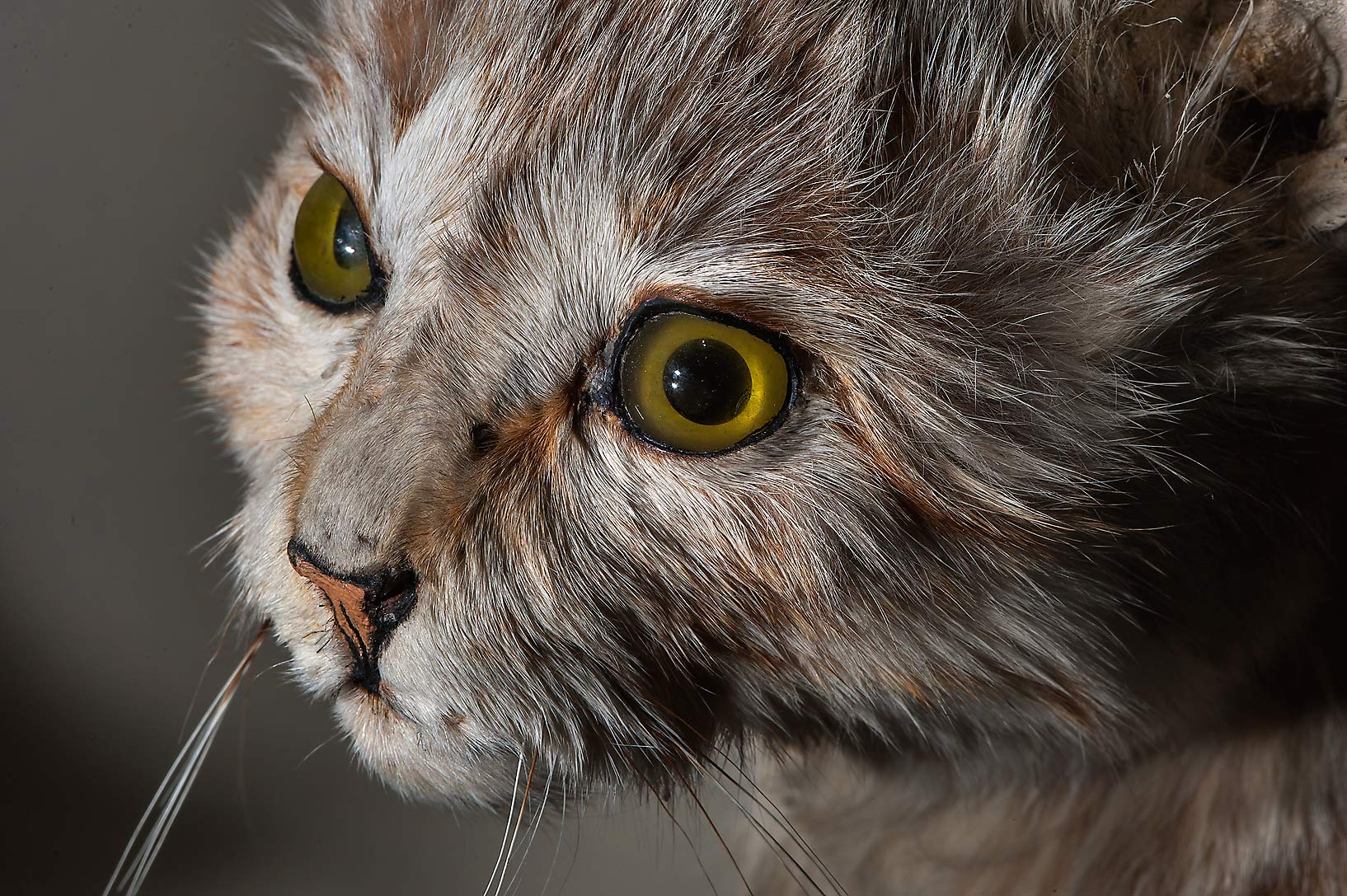 Head of steppe cat (Felis libyca caudata) in Zoological Museum. St.Petersburg, Russia