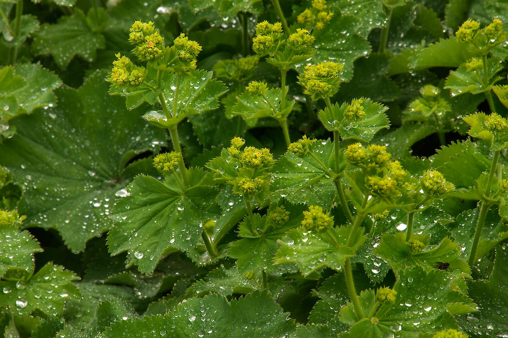 Common lady's mantle (Alchemilla vulgaris) in...Institute. St.Petersburg, Russia