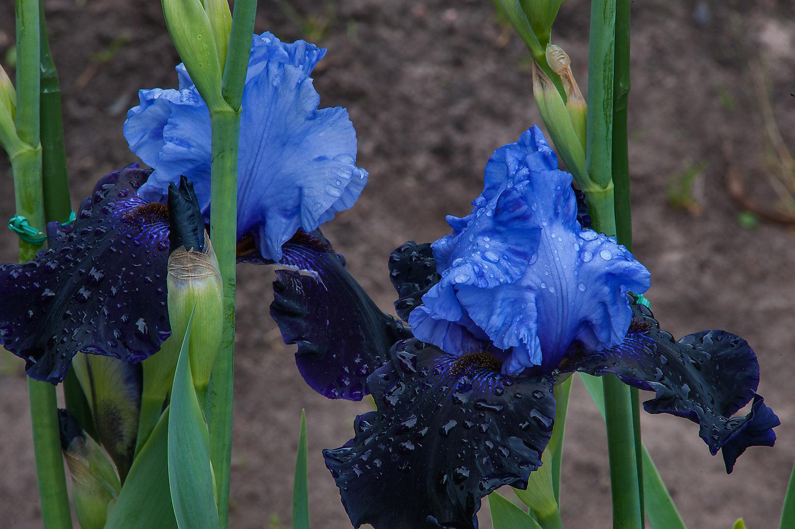 Photo 1434 10 Blue Iris Flowers In Botanic Gardens Of Komarov