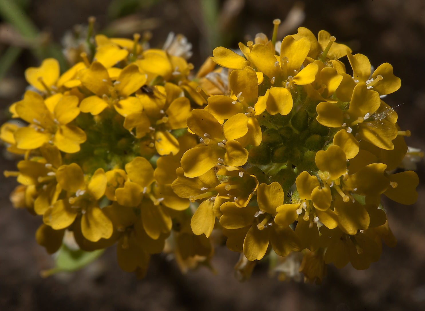Yellow flowers of Alyssum gmelinii in Botanic...Institute. St.Petersburg, Russia