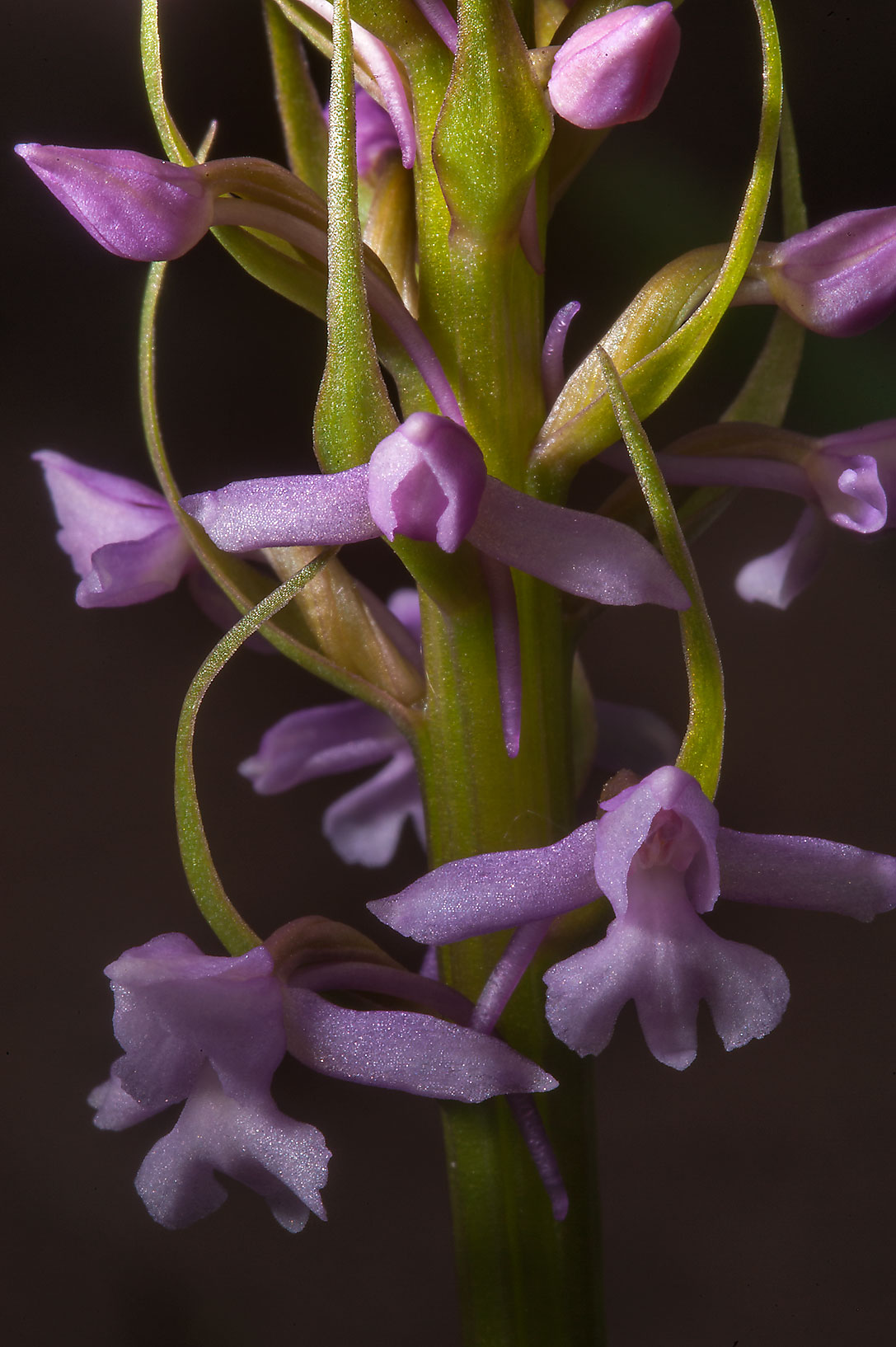 Flowers of Fragrant orchid (Gymnadenia conopsea...Institute. St.Petersburg, Russia