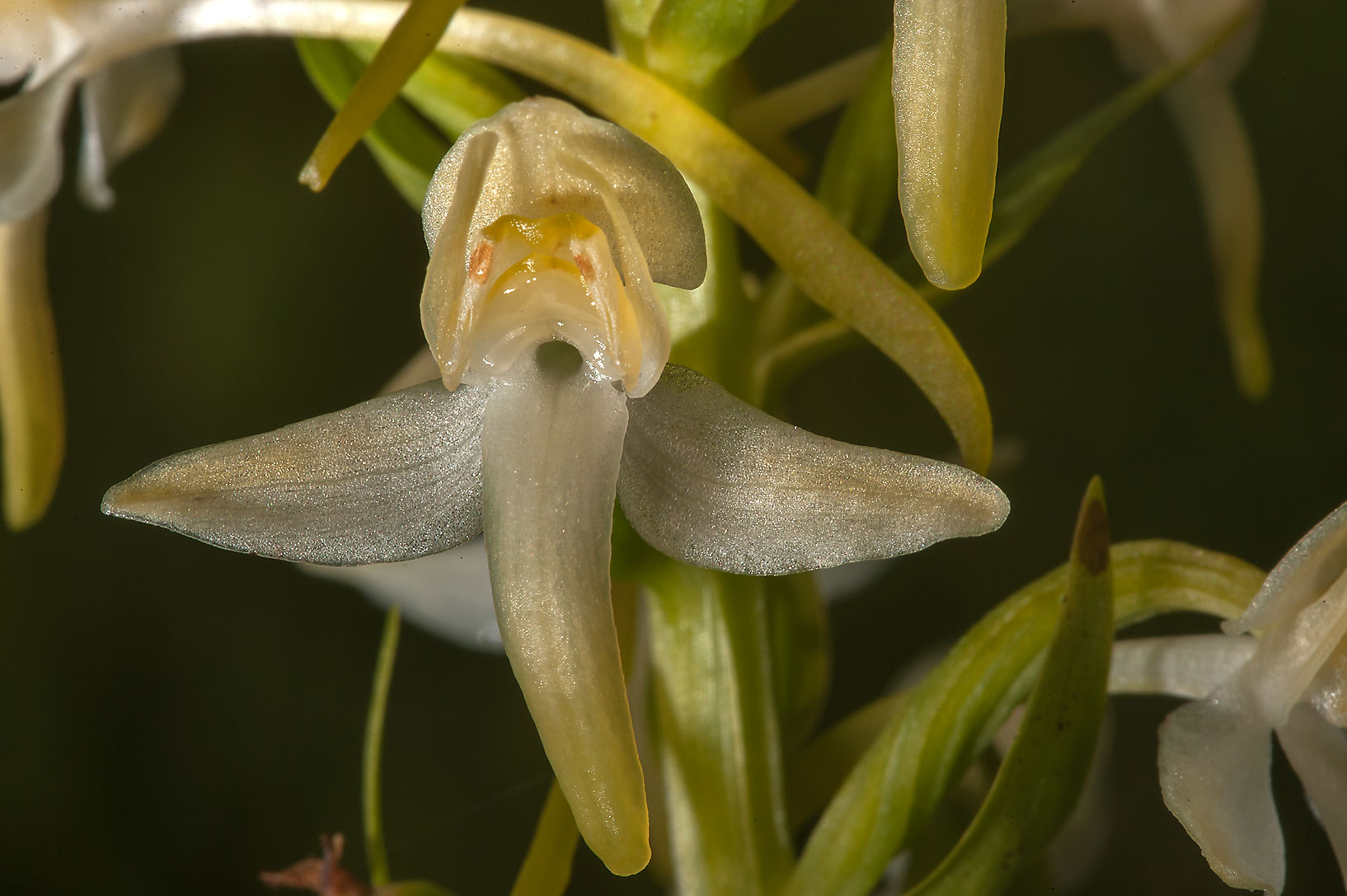 Close up of a flower of Lesser Butterfly-orchid...miles south from St.Petersburg. Russia