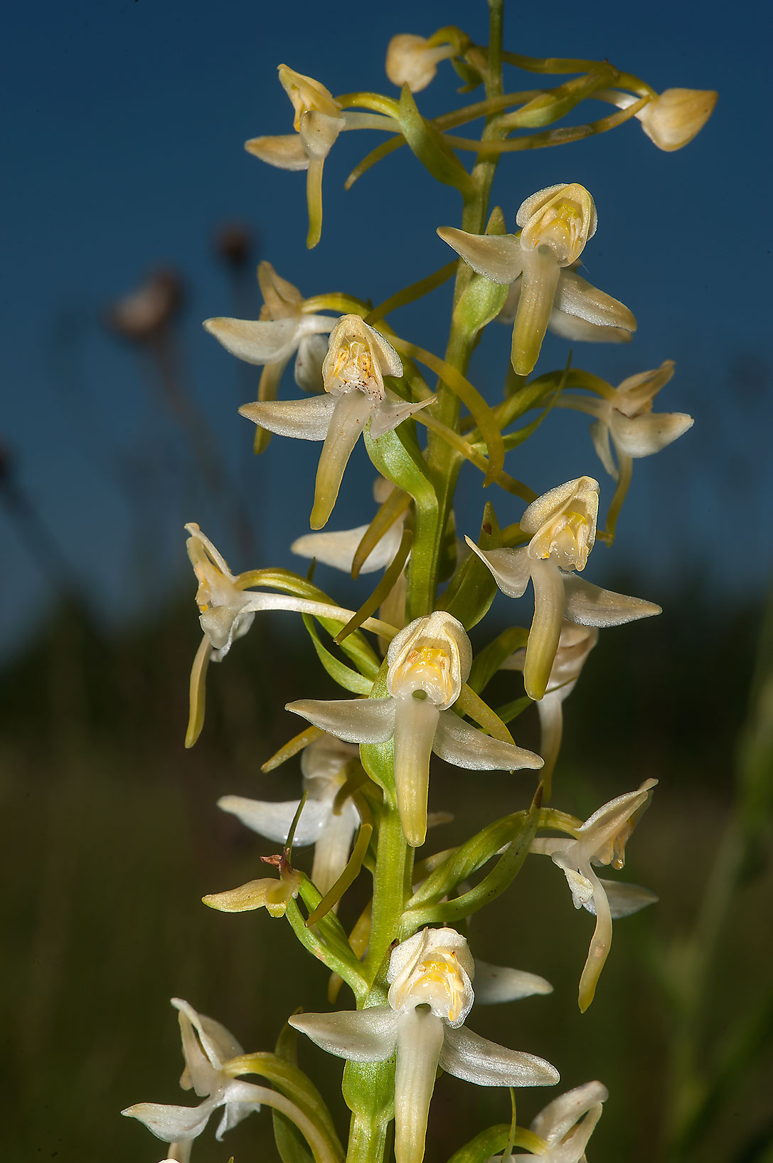 Blooming Lesser Butterfly-orchid (Platanthera...miles south from St.Petersburg. Russia