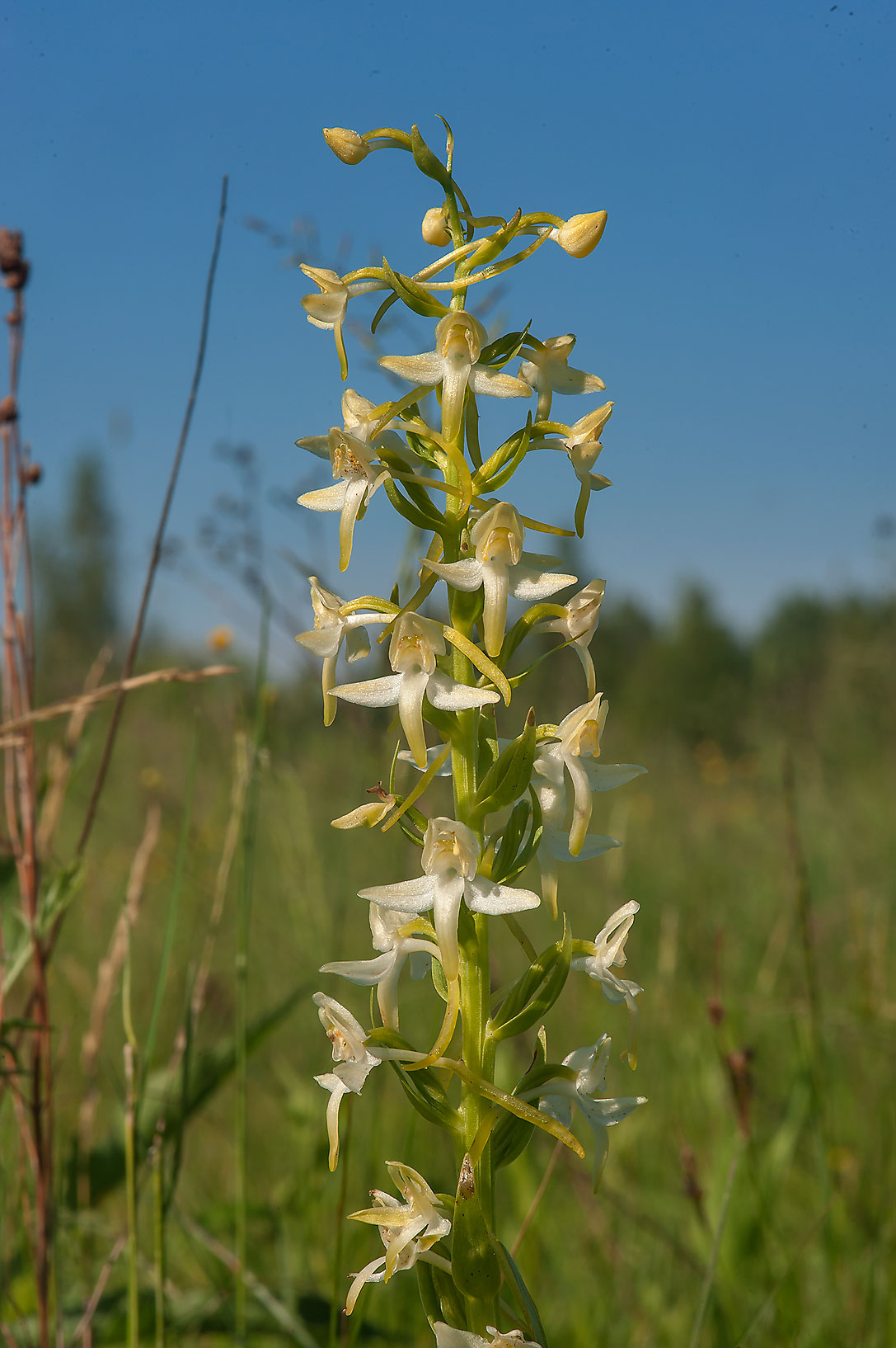 Lesser Butterfly-orchid (Platanthera bifolia...miles south from St.Petersburg. Russia