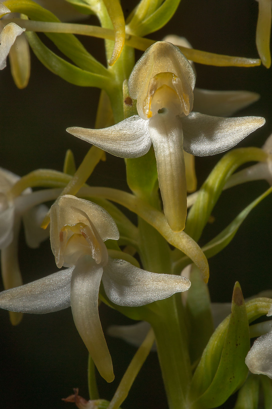 Flower spike of Lesser Butterfly-orchid...miles south from St.Petersburg. Russia
