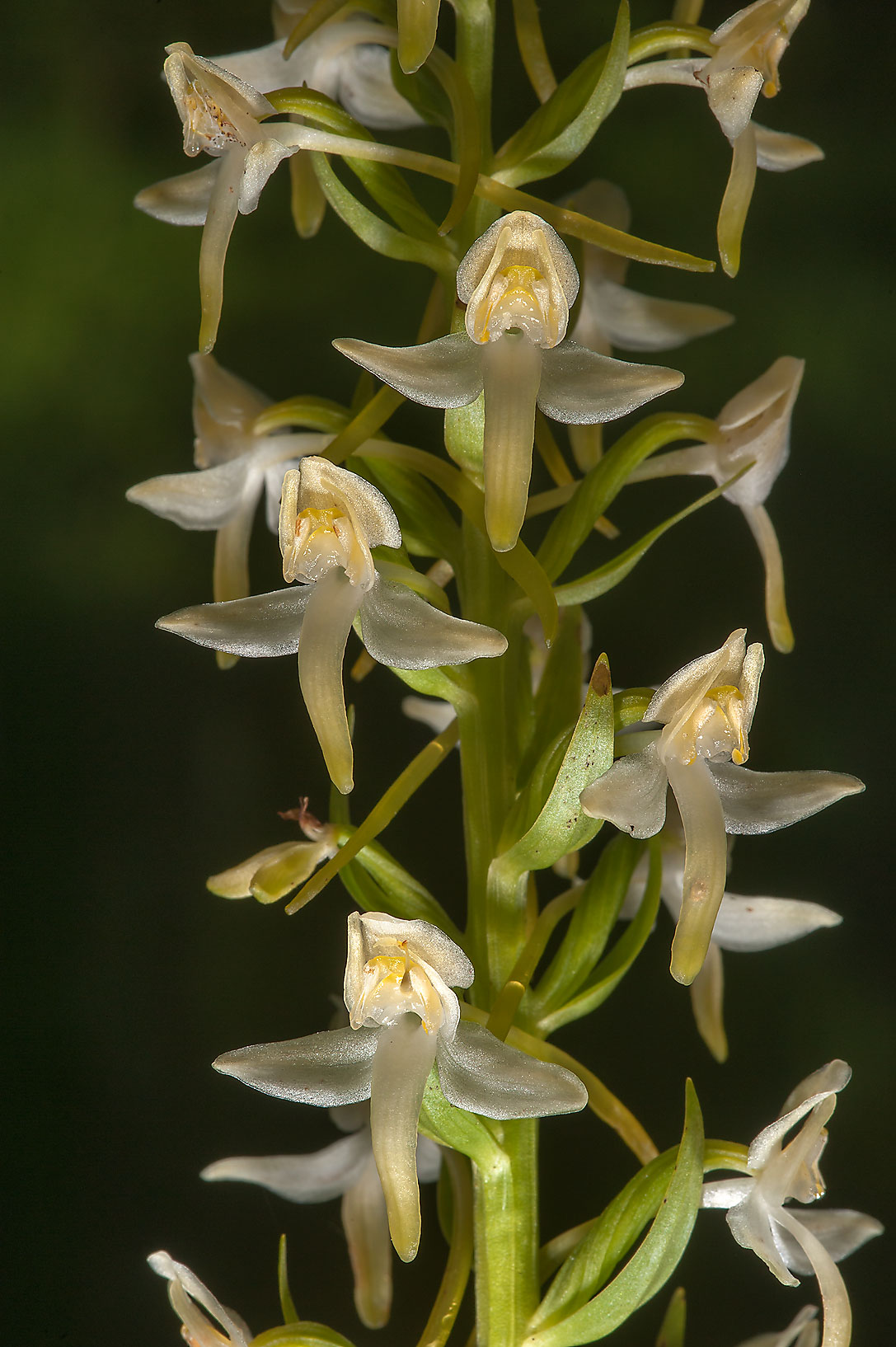 Inflorescence of Lesser Butterfly-orchid...miles south from St.Petersburg. Russia