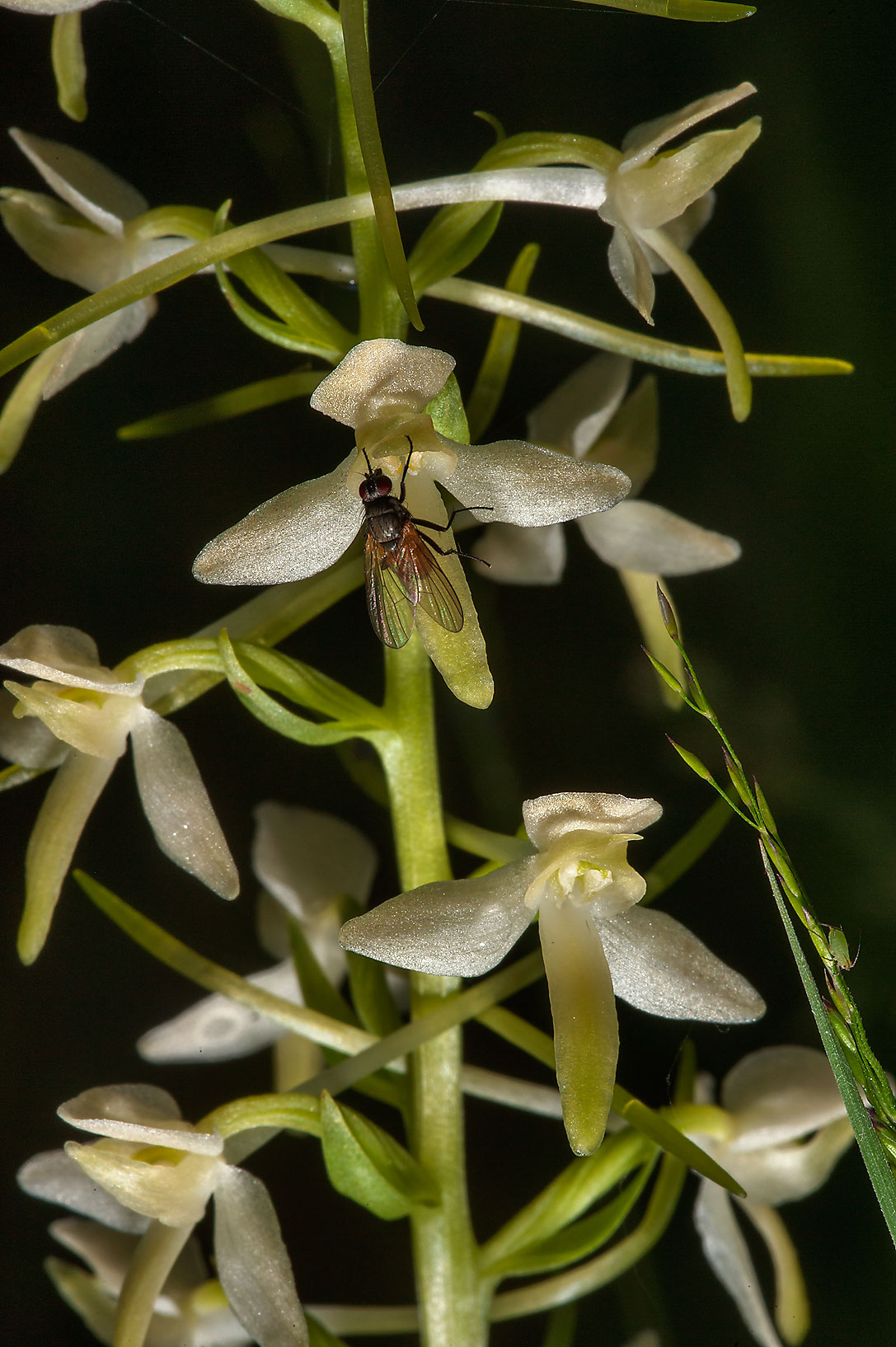 Fly on flowers of Lesser Butterfly-orchid...miles south from St.Petersburg. Russia