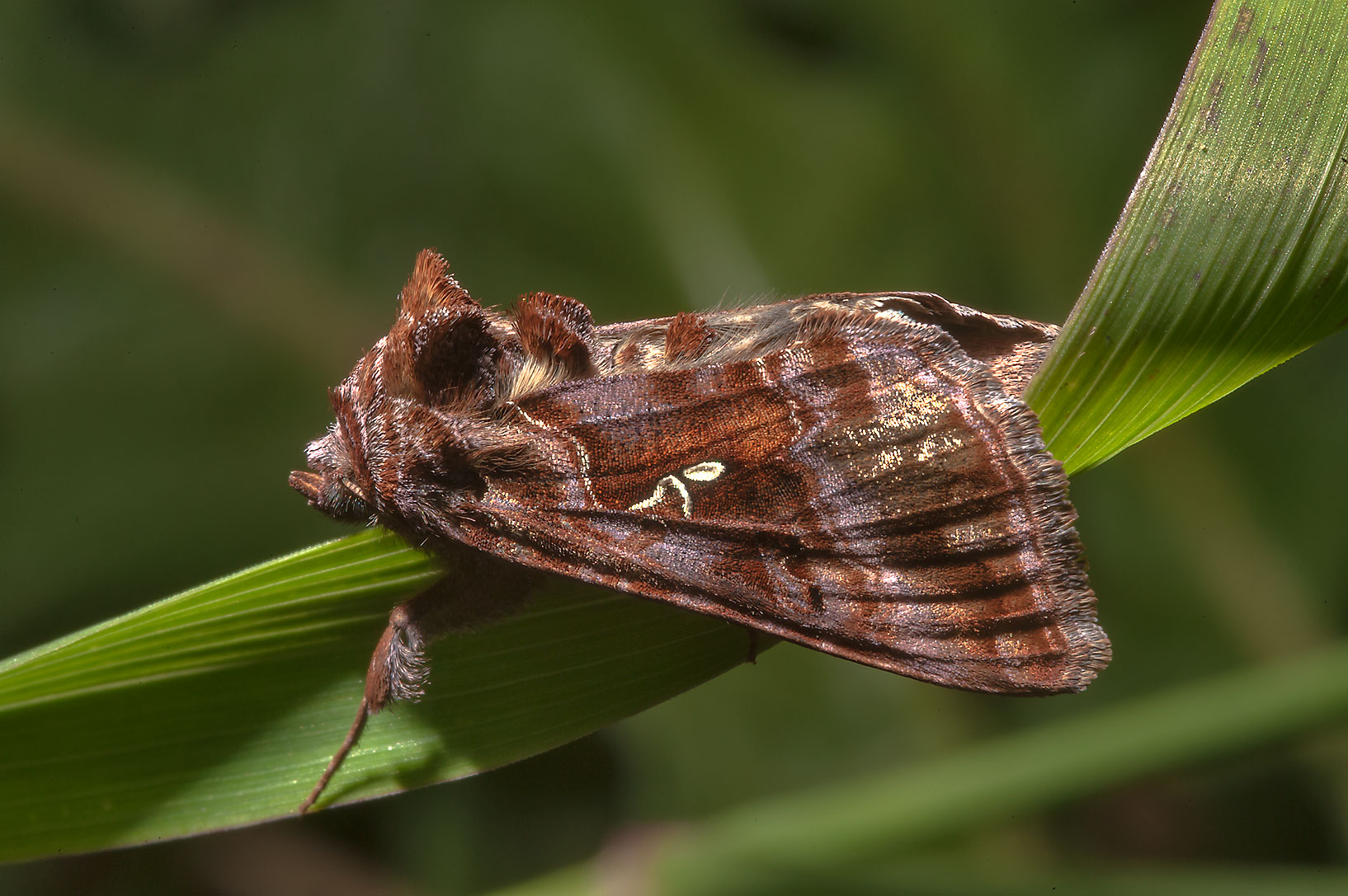 Silver Y moth Autographa gamma near Novinka, 50 miles south from St.Petersburg. Russia
