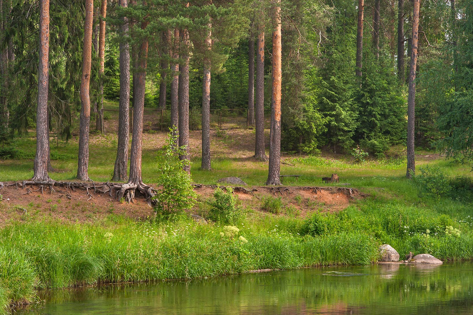 Pine forest and Oredezh River in Siverskaya, 50 miles south from St.Petersburg. Russia