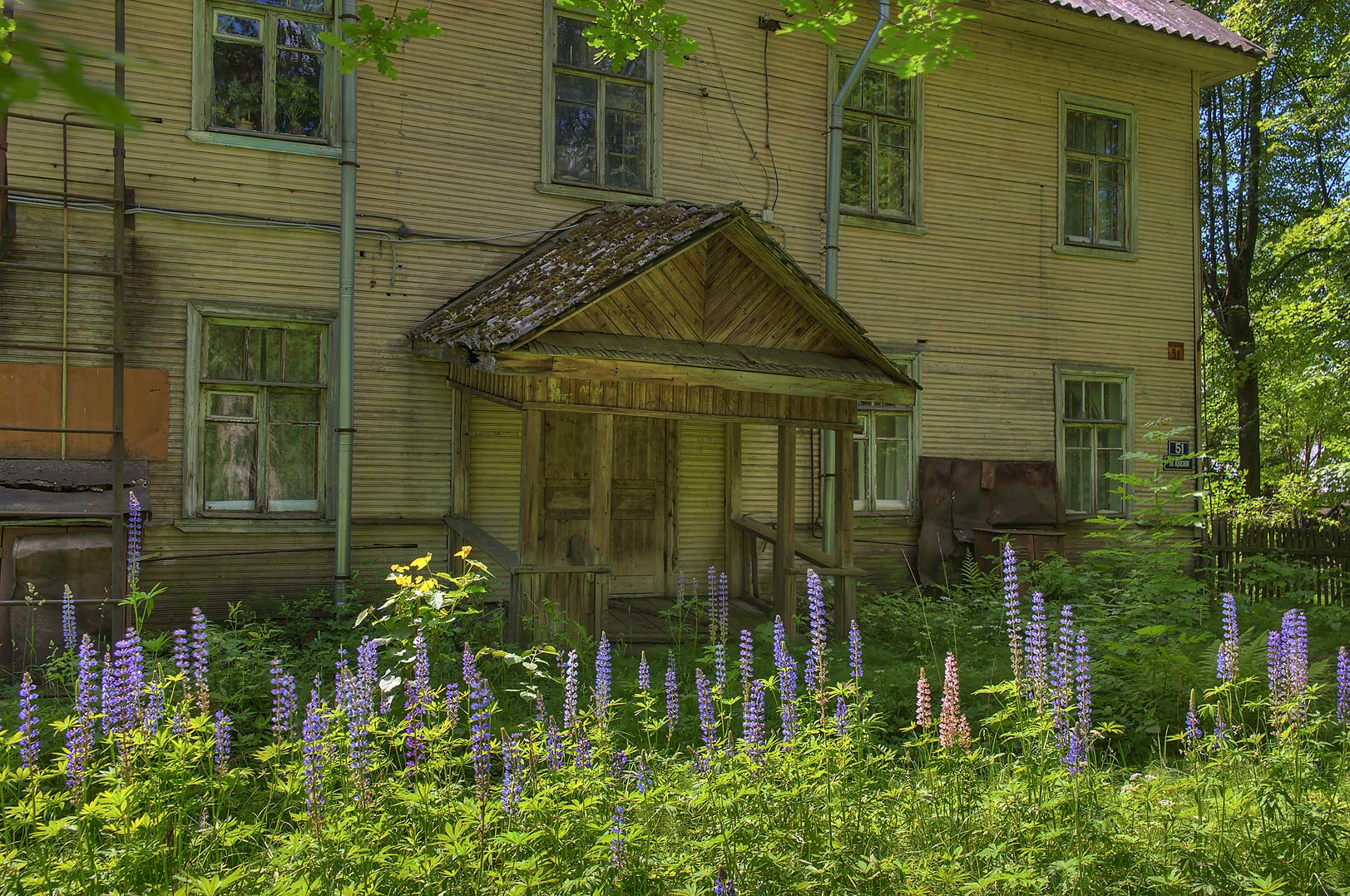 Wooden house with lupin flowers in Siverskaya, 50 miles south from St.Petersburg. Russia