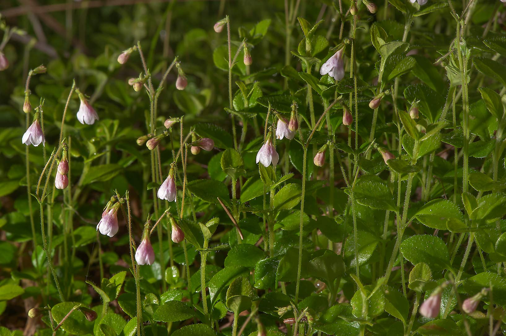 Twinflowers (Linnaea borealis) in a forest near...north-west from St.Petersburg. Russia