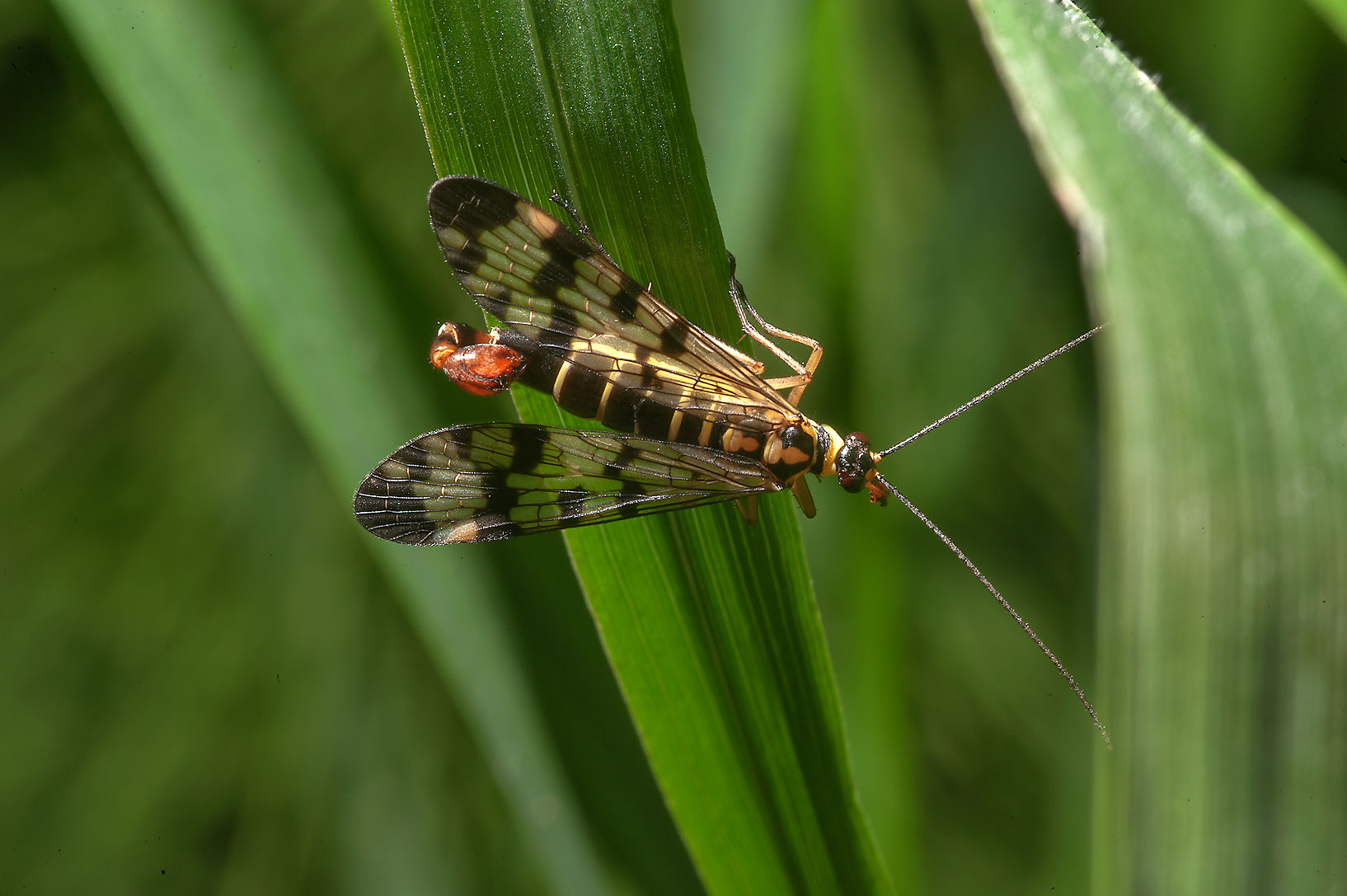 Scorpionfly in Otdelny Park in Pushkin (former...a suburb of St.Petersburg. Russia