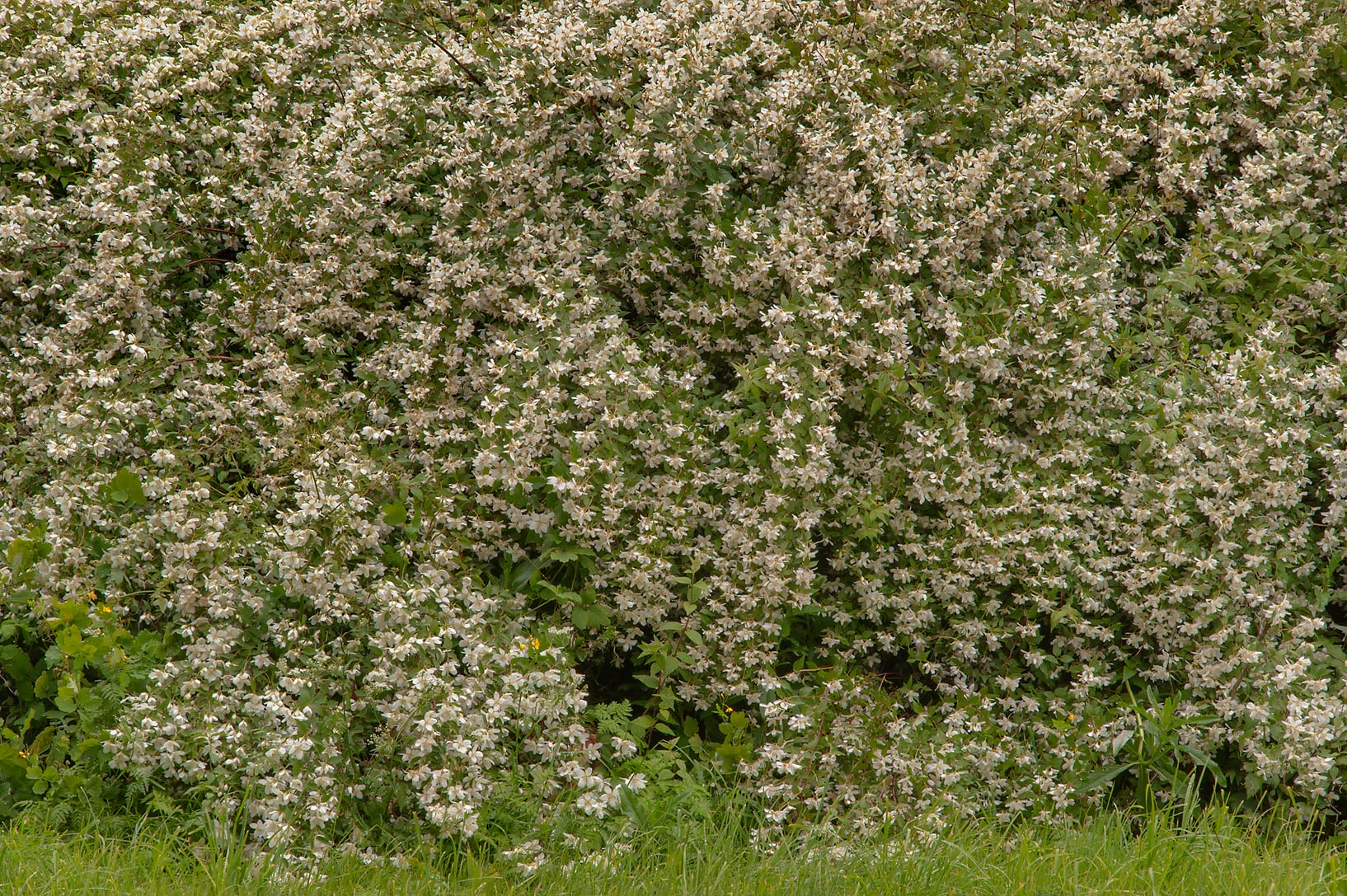 Photo 1440 29 White Flowers On A Bush Of Bridalwreath Spiraea