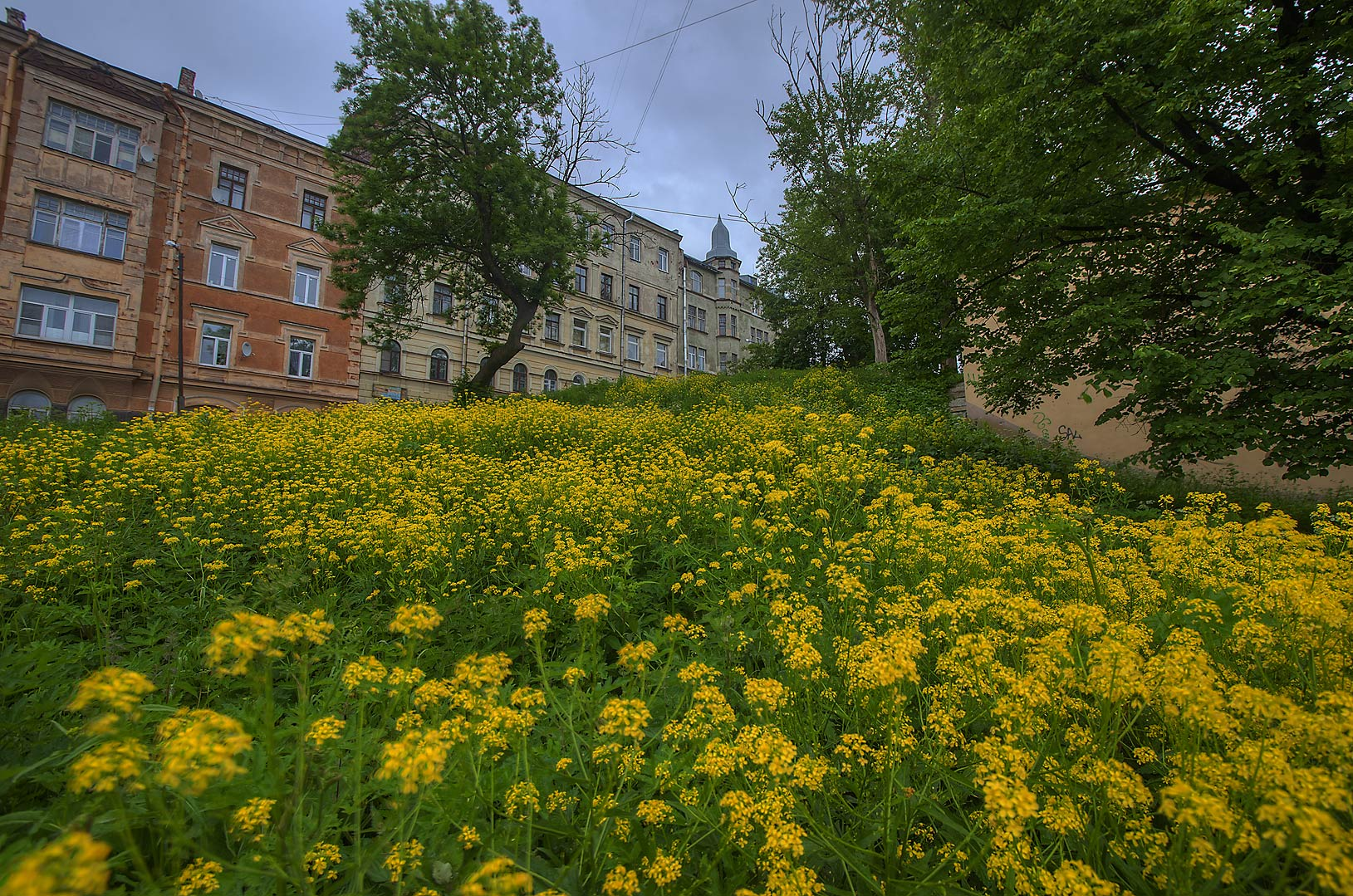 Field of Common Winter Cress (Surepka) on Vyborgskaya St.. Vyborg, Russia