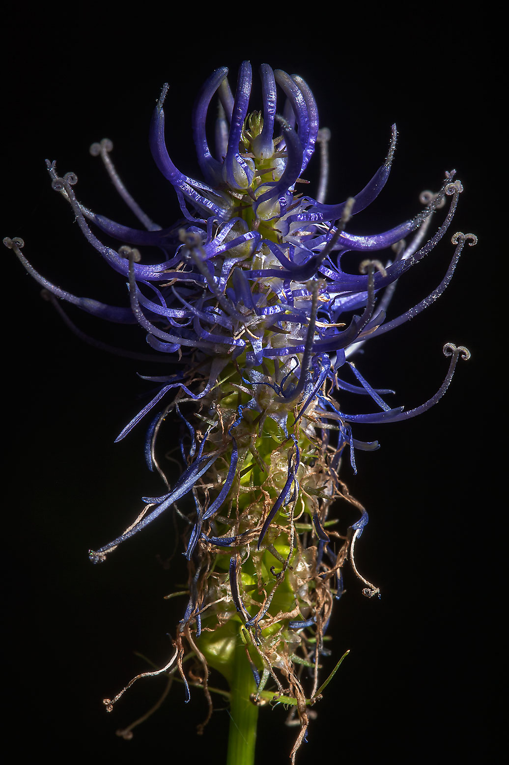 Blue flower of Black Rampion (Phyteuma nigrum...a suburb of St.Petersburg, Russia