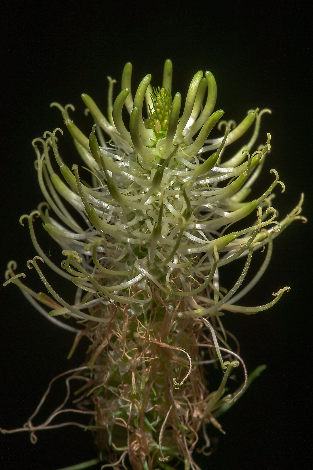 Close up of a white flower of Spiked Rampion...a suburb of St.Petersburg, Russia