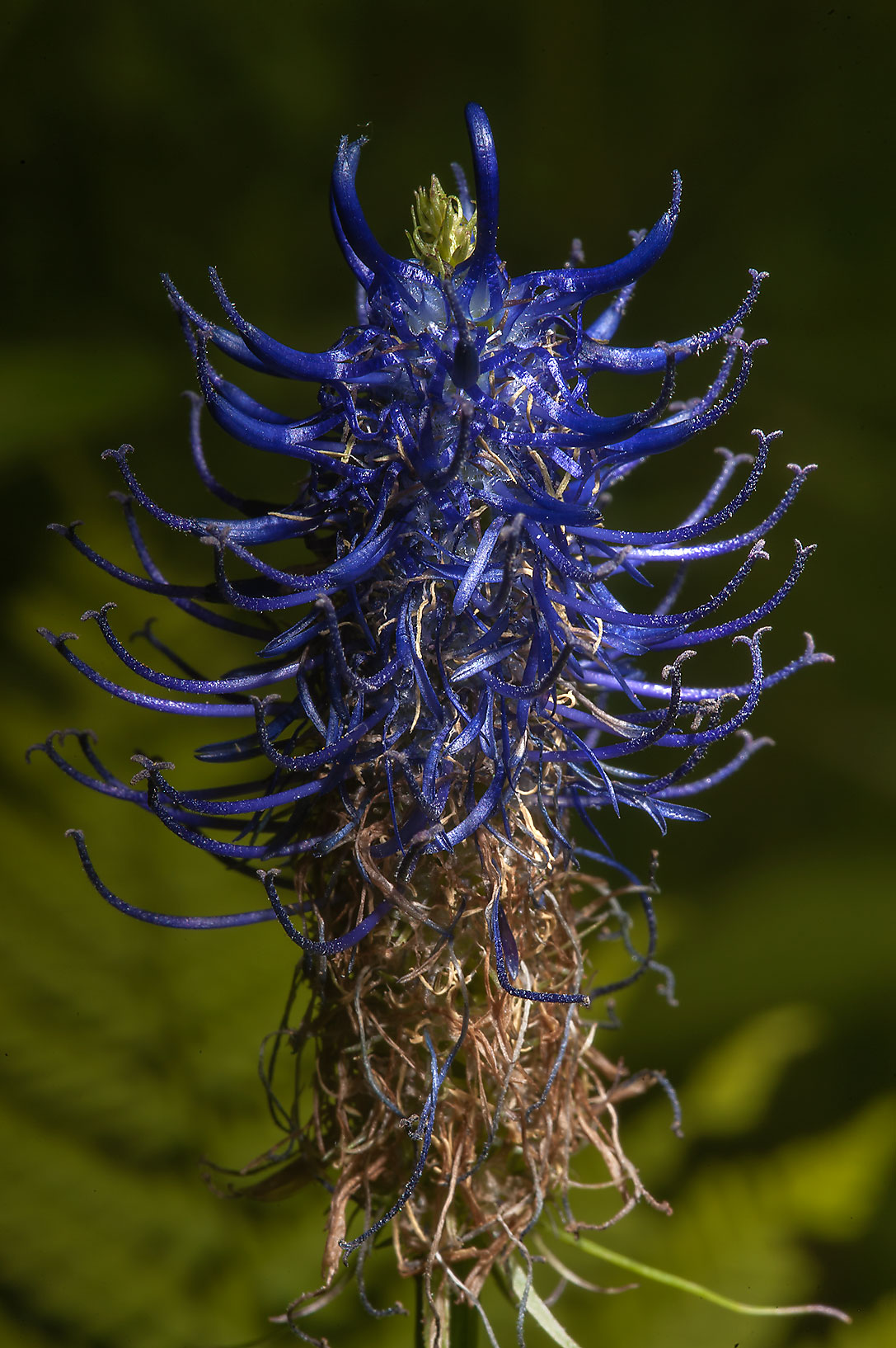 Blue flower spike of Black Rampion (Phyteuma...a suburb of St.Petersburg, Russia