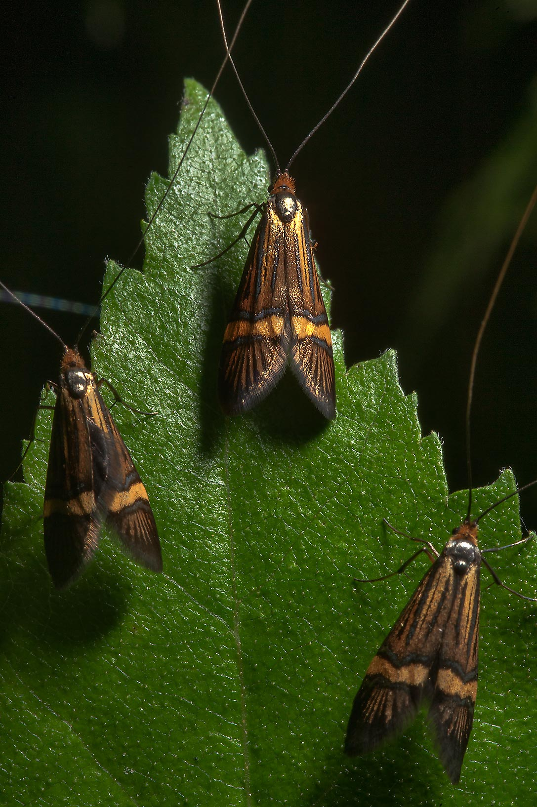 Brown moths on a leaf near Angliyskaya Alley in...a suburb of St.Petersburg, Russia