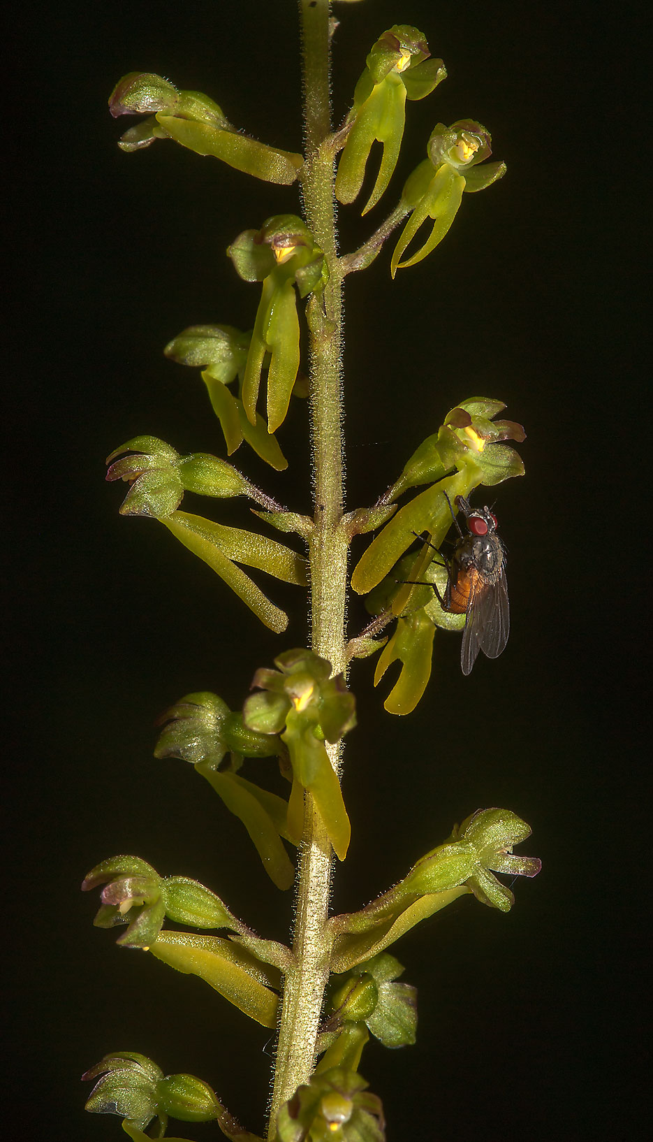 Flowers of Twayblade orchid (Neottia or Listera...a suburb of St.Petersburg, Russia