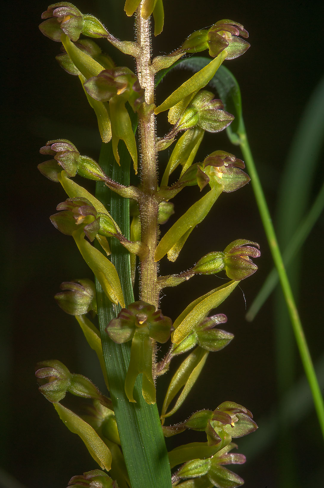 Close up of Twayblade orchid (Neottia or Listera...a suburb of St.Petersburg, Russia