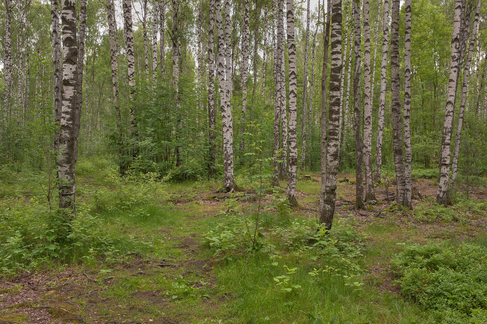 Birch forest in northern area of Sosnovka Park. St.Petersburg, Russia