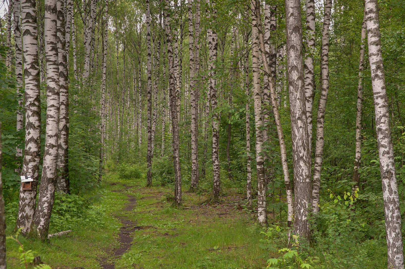 Birch alley in northern area of Sosnovka Park. St.Petersburg, Russia