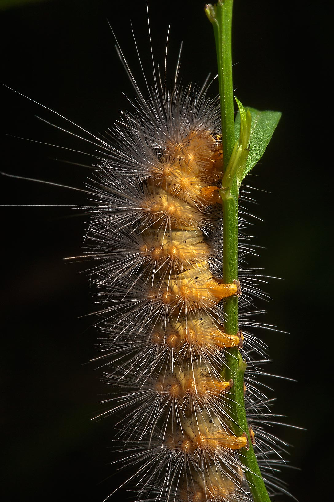Brown caterpillar in Washington-on-the-Brazos State Historic Site. Washington, Texas