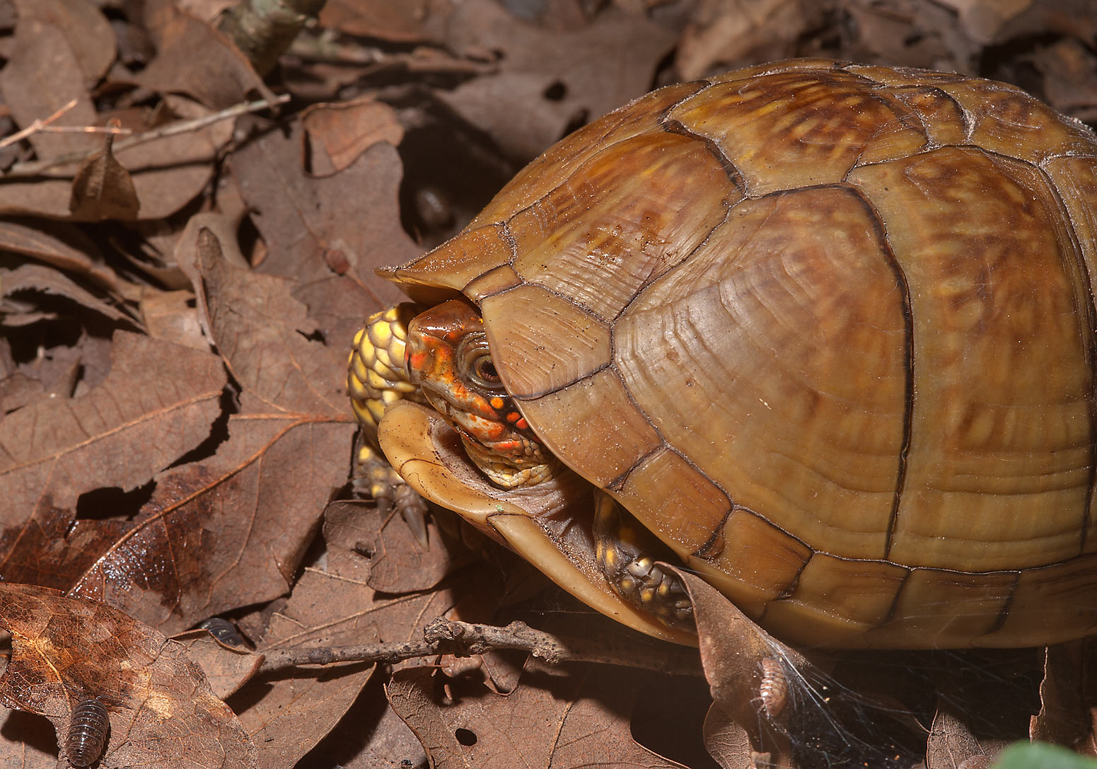 Orange headed turtle in Lick Creek Park. College Station, Texas