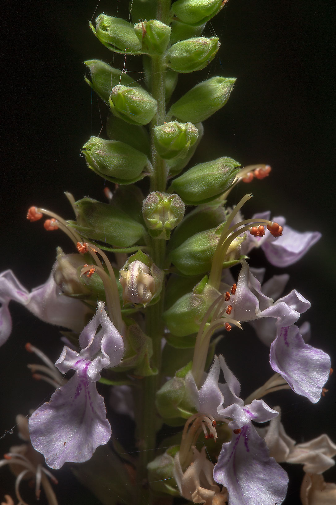Teucrium canadense (Canada germander) in Lick Creek Park. College Station, Texas