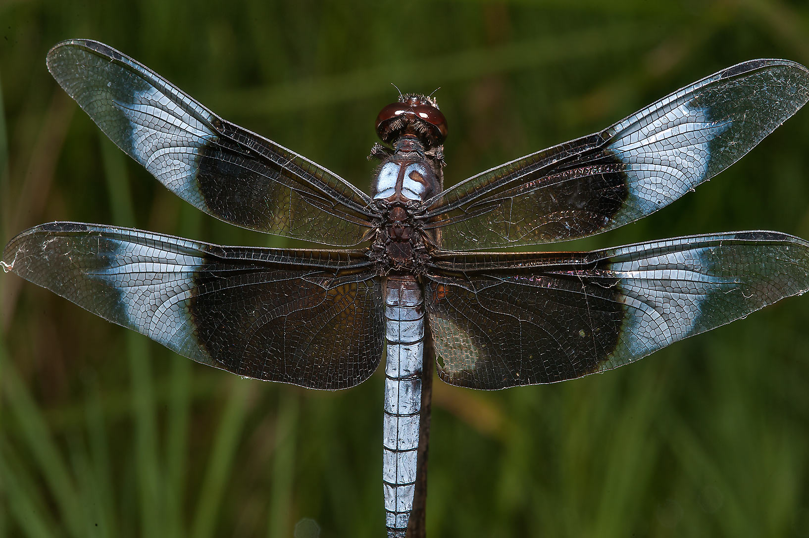 Black and grey dragonfly in Lick Creek Park. College Station, Texas