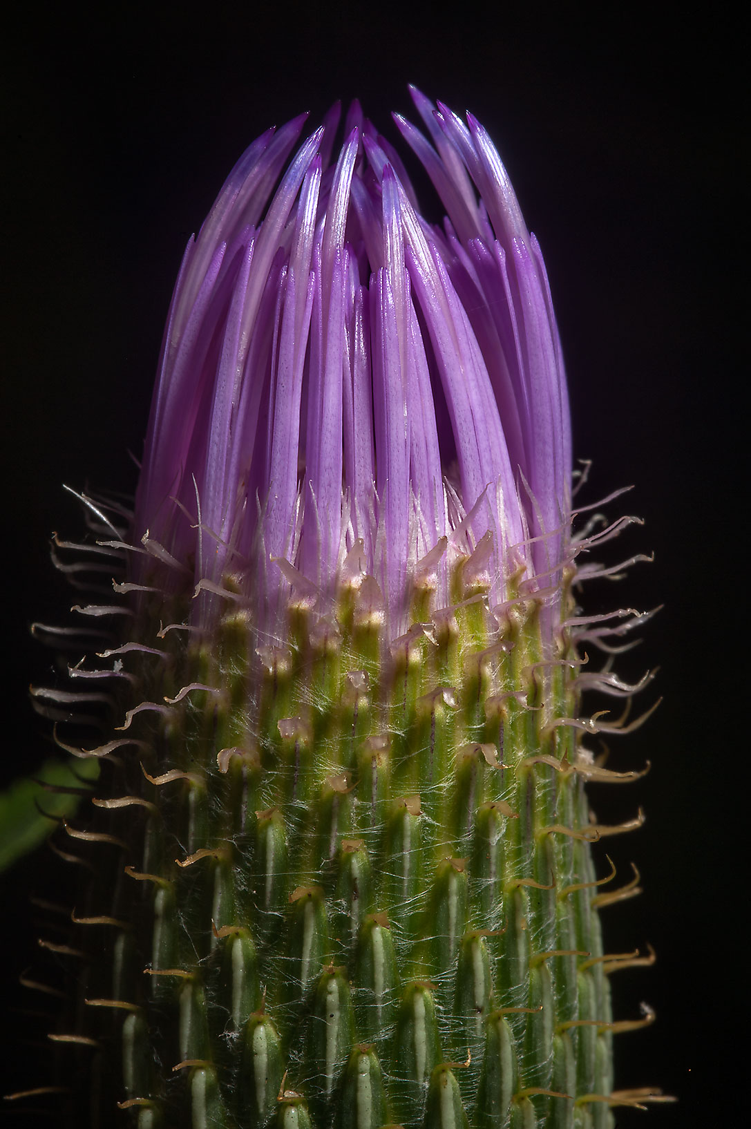 Flower bud of summer-blooming thistle (Cirsium...Creek Park. College Station, Texas