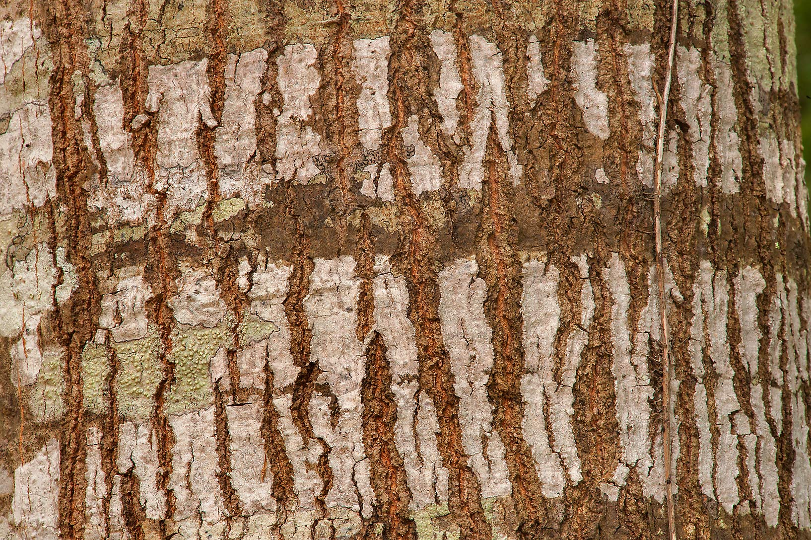 Bark of water oak in Lick Creek Park. College Station, Texas