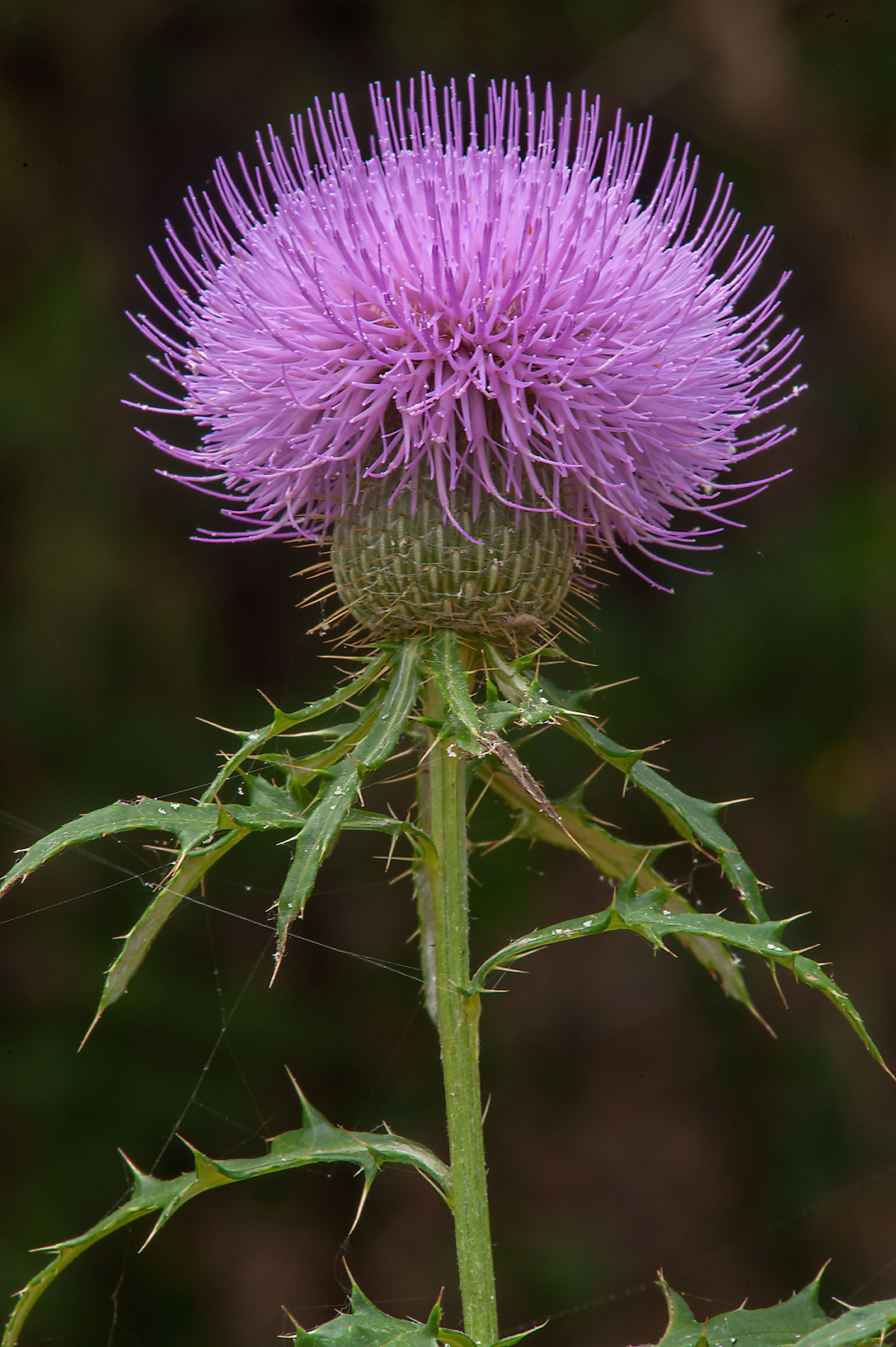 Blooming summer-blooming thistle (Cirsium...Creek Park. College Station, Texas
