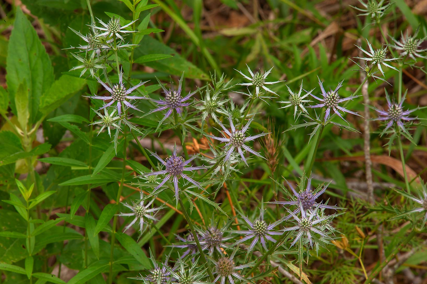Hooker's eryngo (Eryngium hookeri) on Racoon Run...Creek Park. College Station, Texas